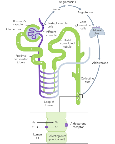 Diagram: normal long-term potassium control with normal nephron function